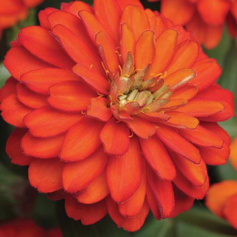Zinna flower plant