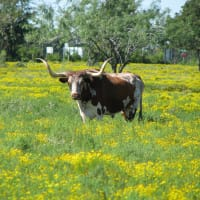 Texas longhorn, cow, steer