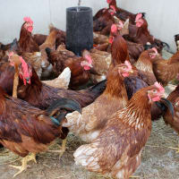 Lecture: Introduction to Chickens by John Berry