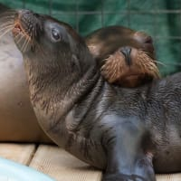 New baby sea lion and mom at Houston Zoo