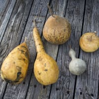 Photo of various ornamental gourds