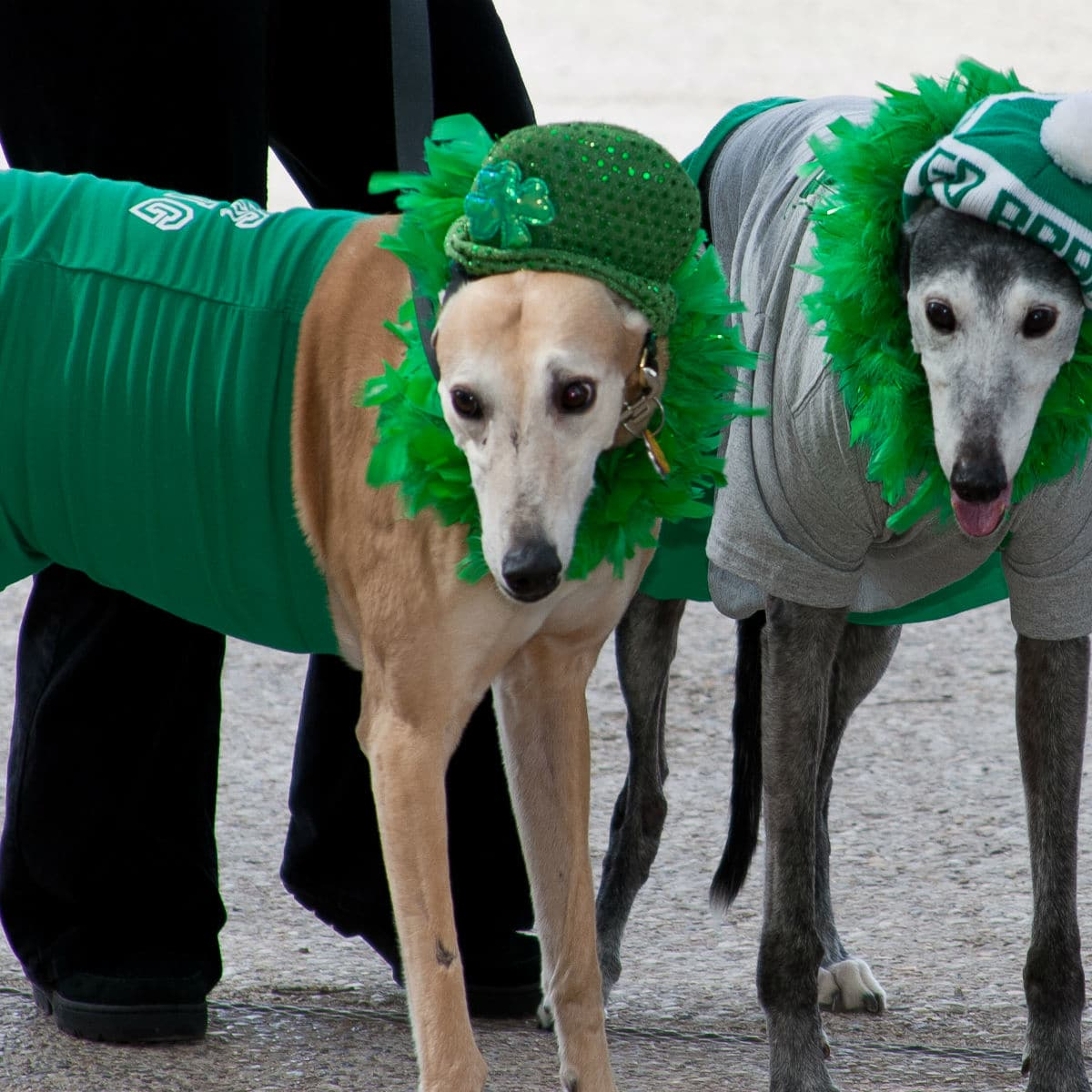 Irish Dogs at North Texas Irish Festival