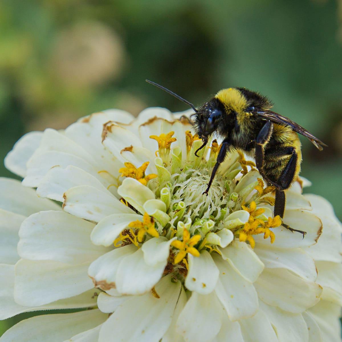 bumble bee on zinnia