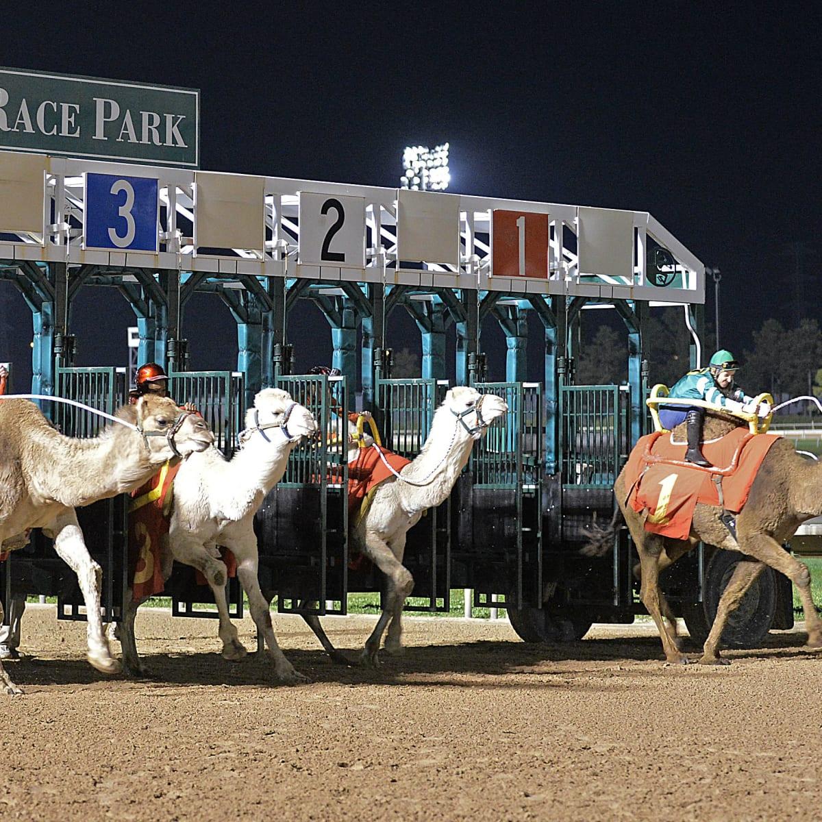 Hoffman camel races