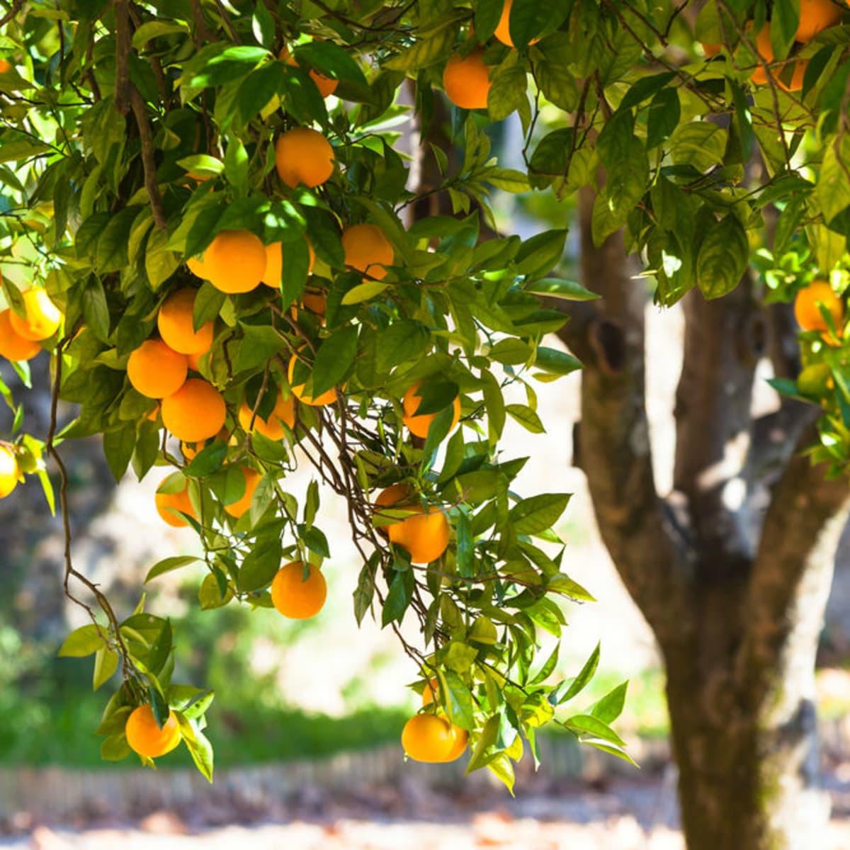 Hoffman fruit tree