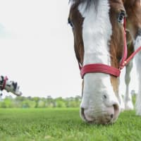 13 Budweiser Clydesdales at Opening Day March 2014