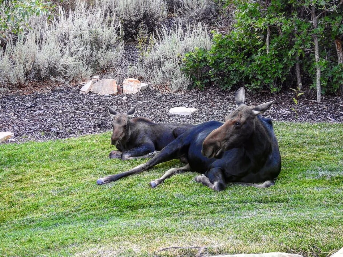 Honored Guest--Moose and baby