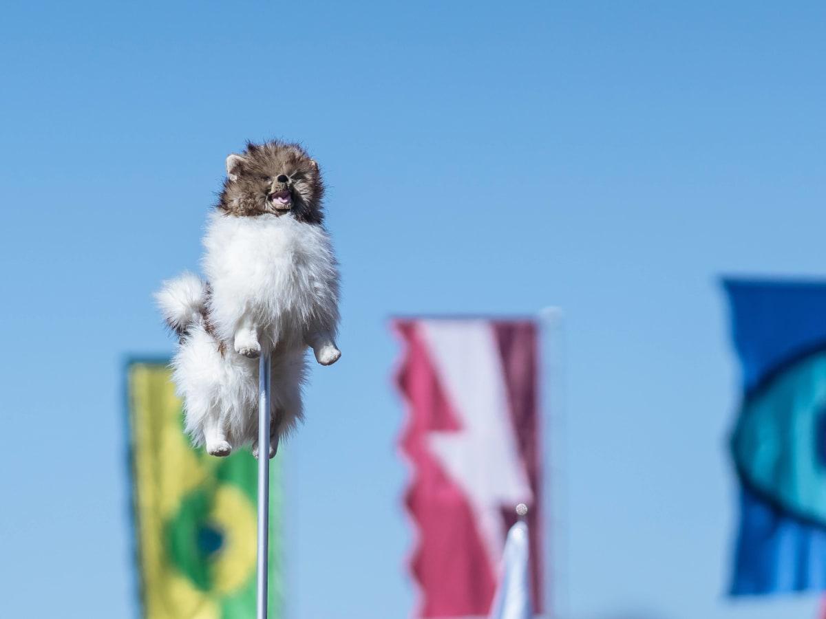 ACL Austin City Limits Music Festival 2016 flags dog