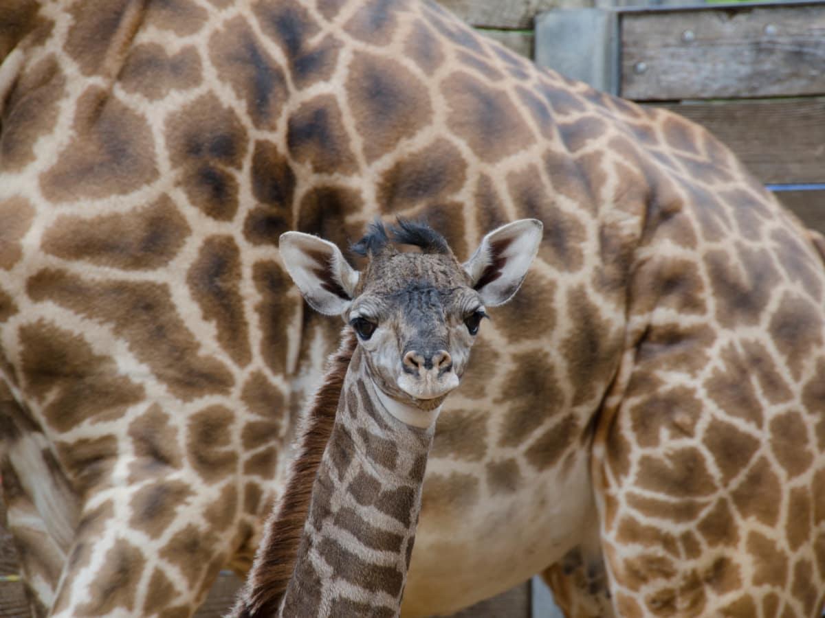 New baby giraffe at Houston Zoo