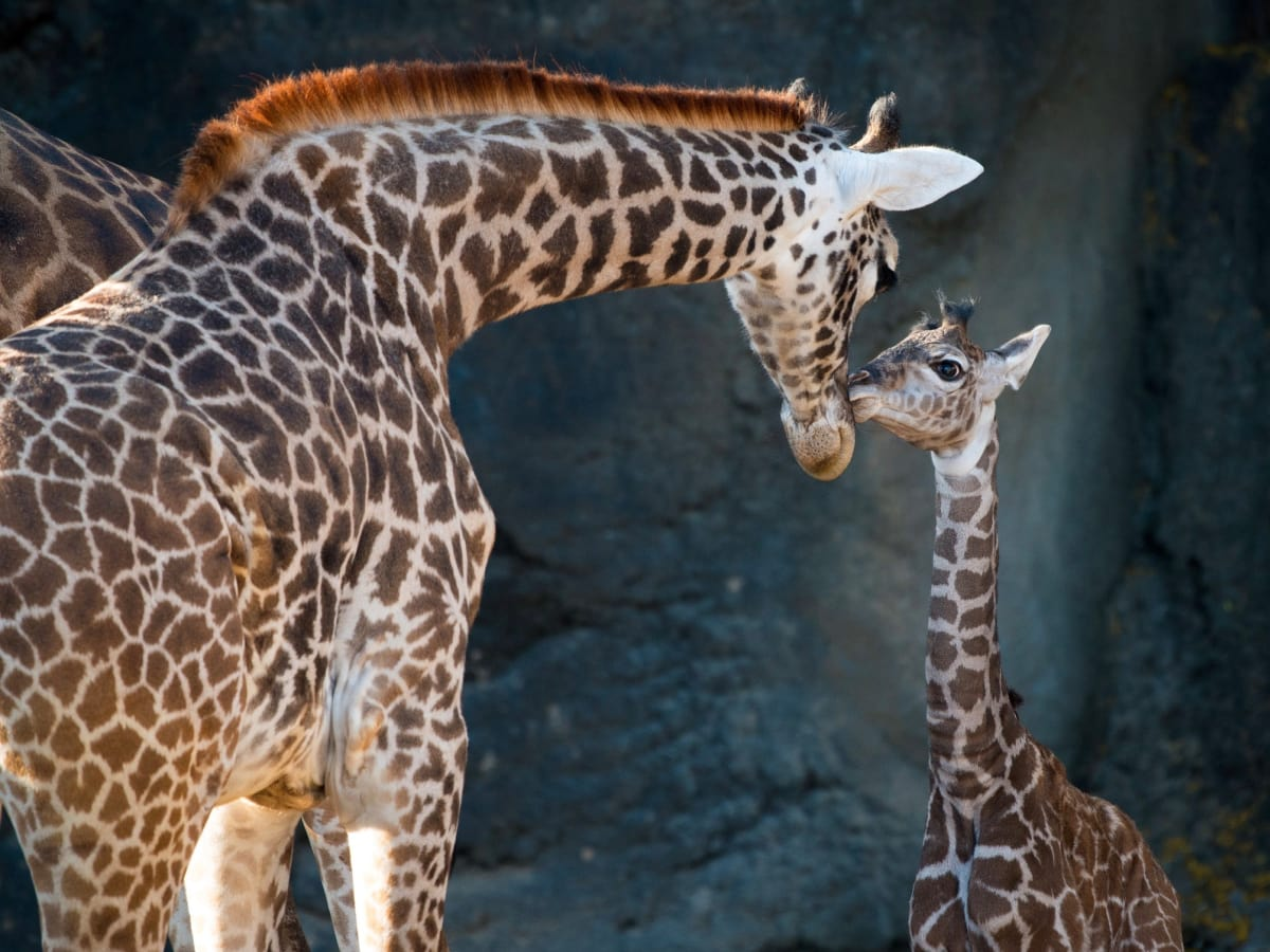 New giraffe at Houston Zoo public debut