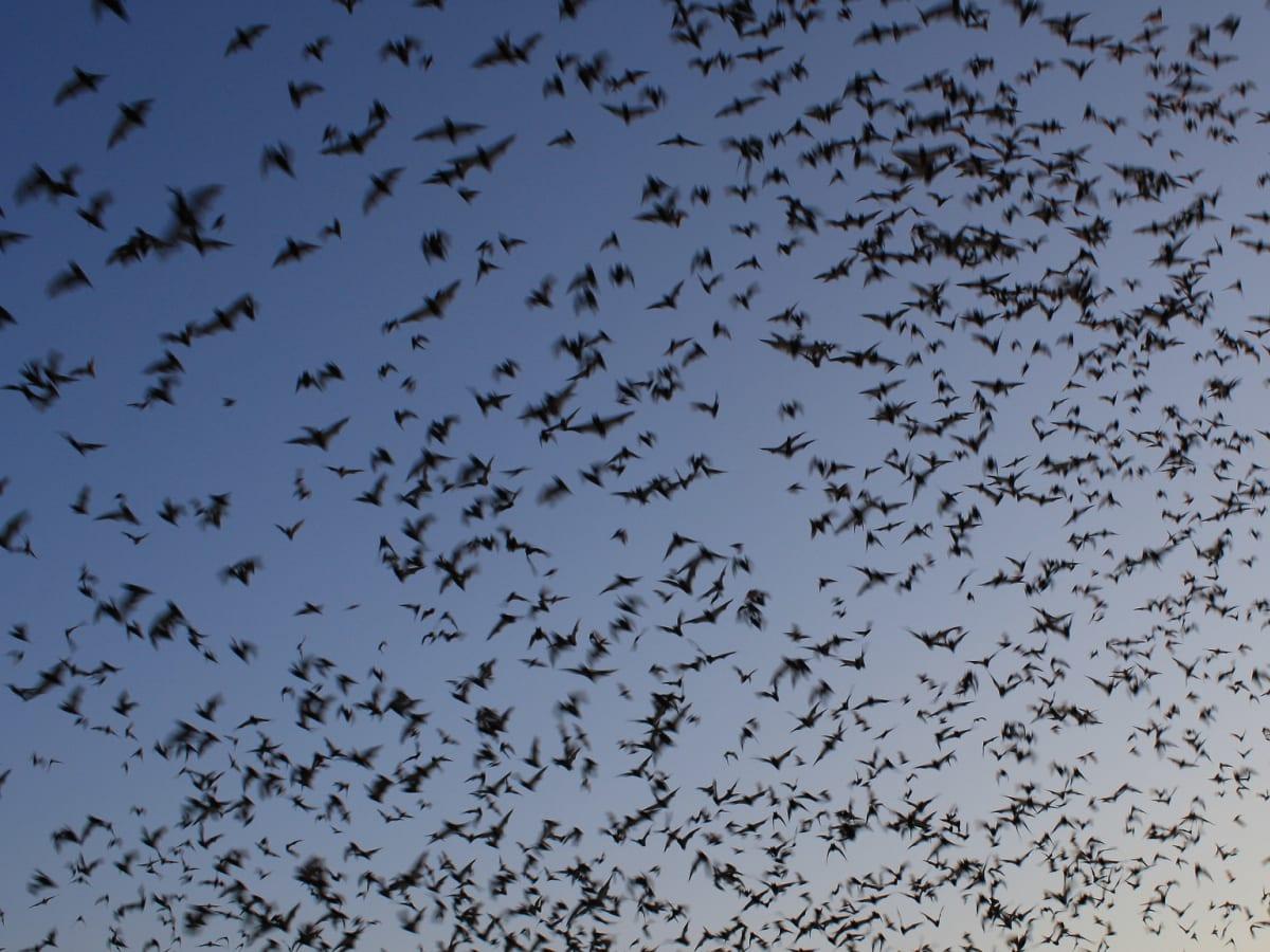 bats, Mexican free-tail bats