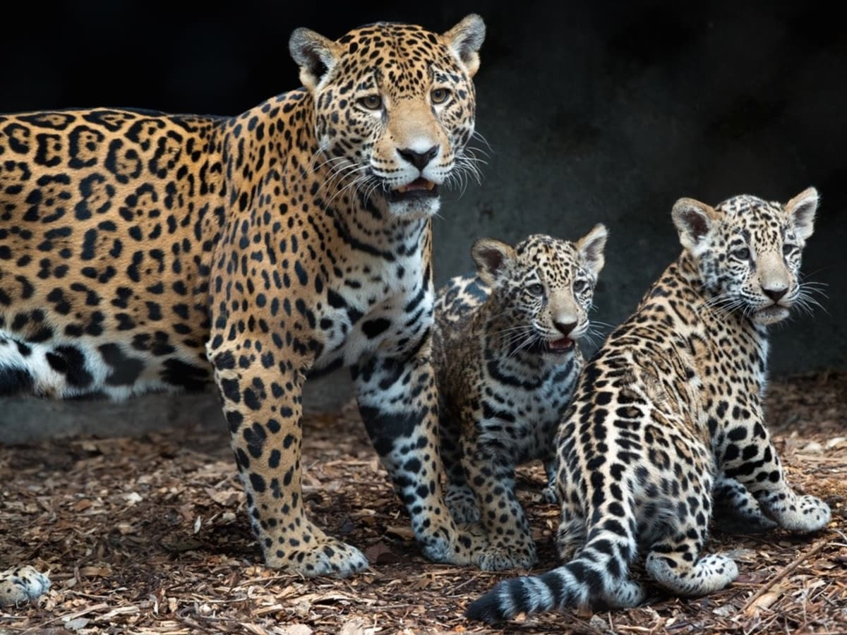 Jaguar cubs and mom at Houston Zoo