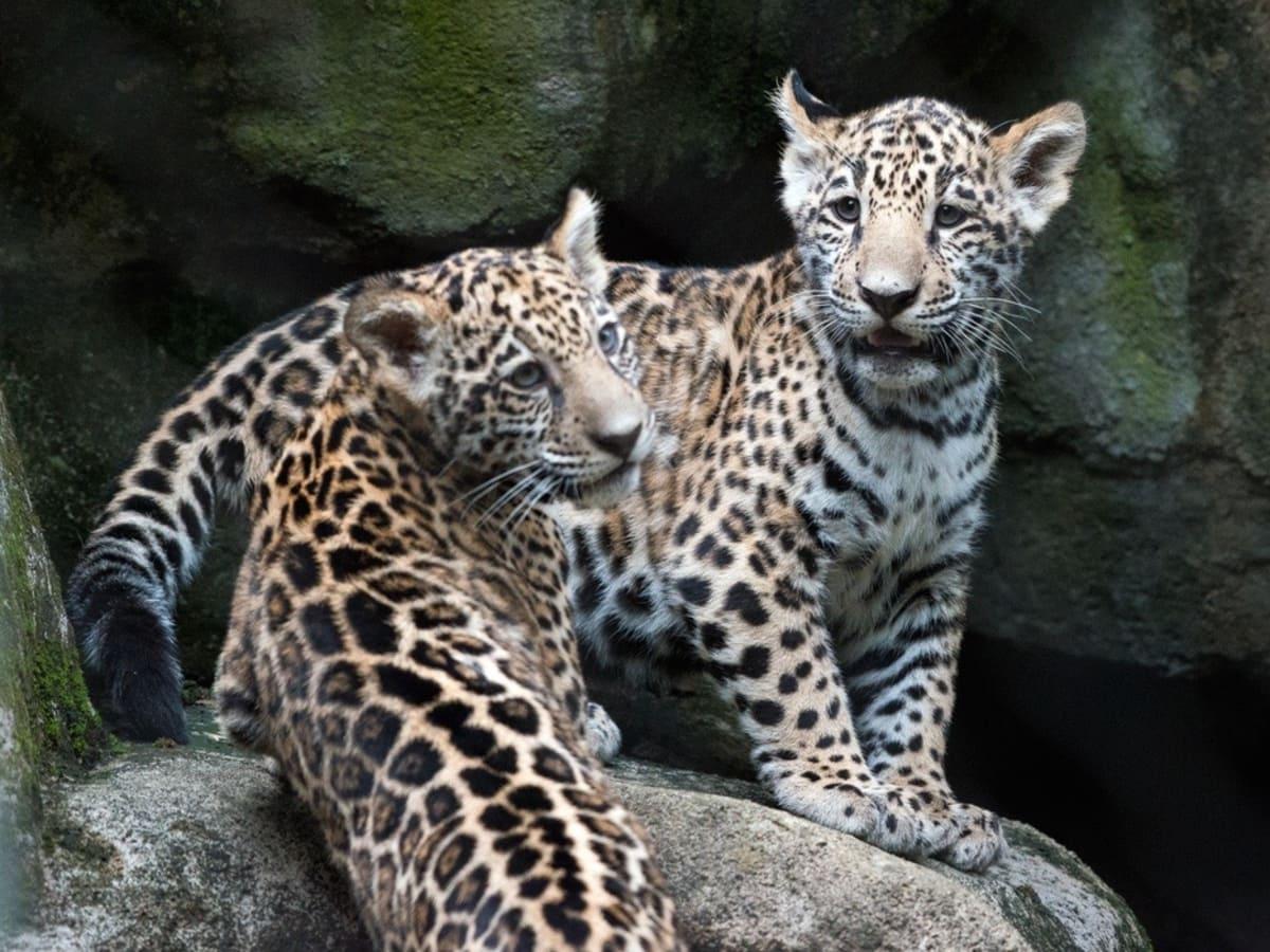 Jaguar cubs at Houston Zoo