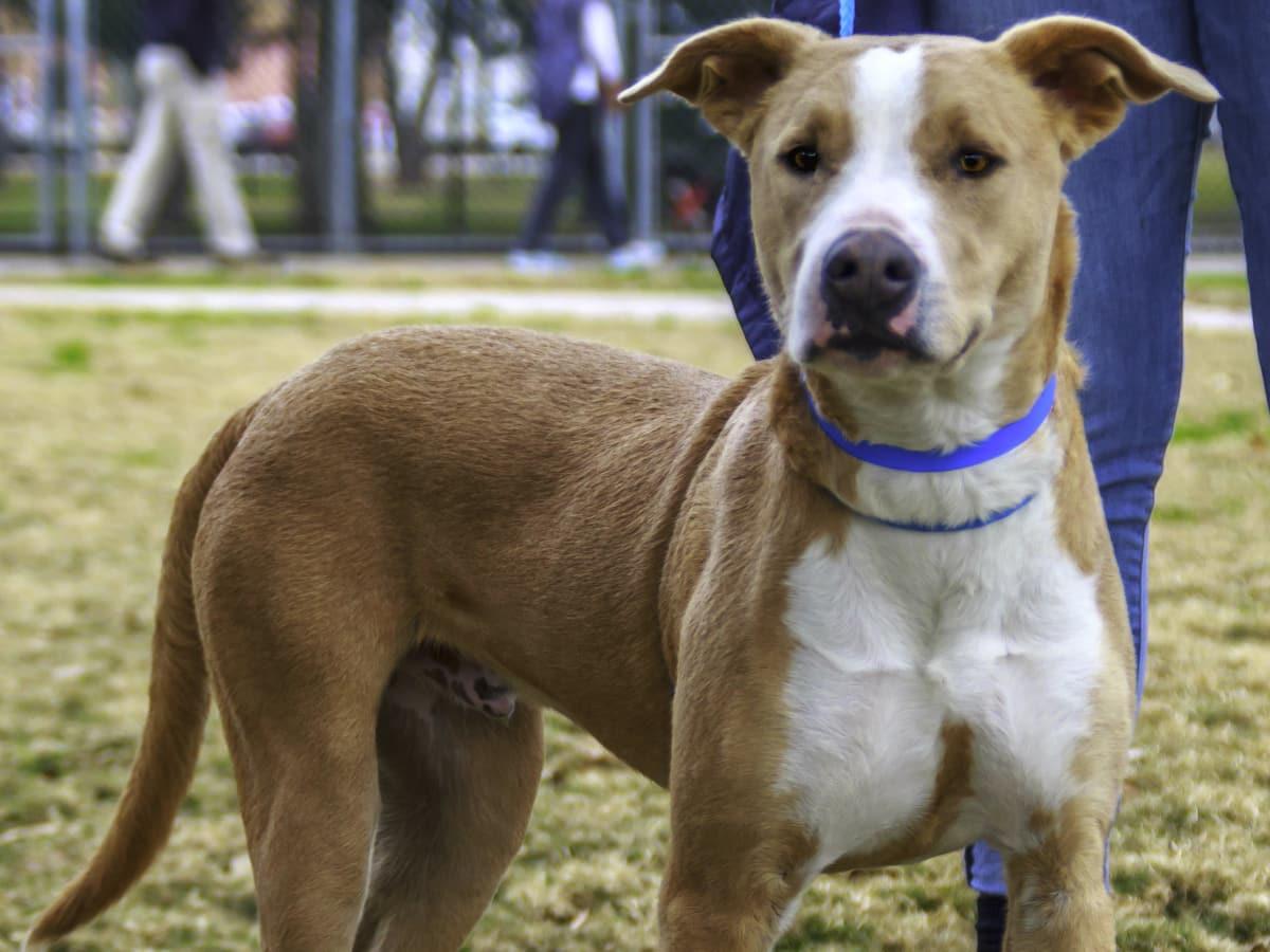 Hoffman's Houston - Pet of the Week - Blue
