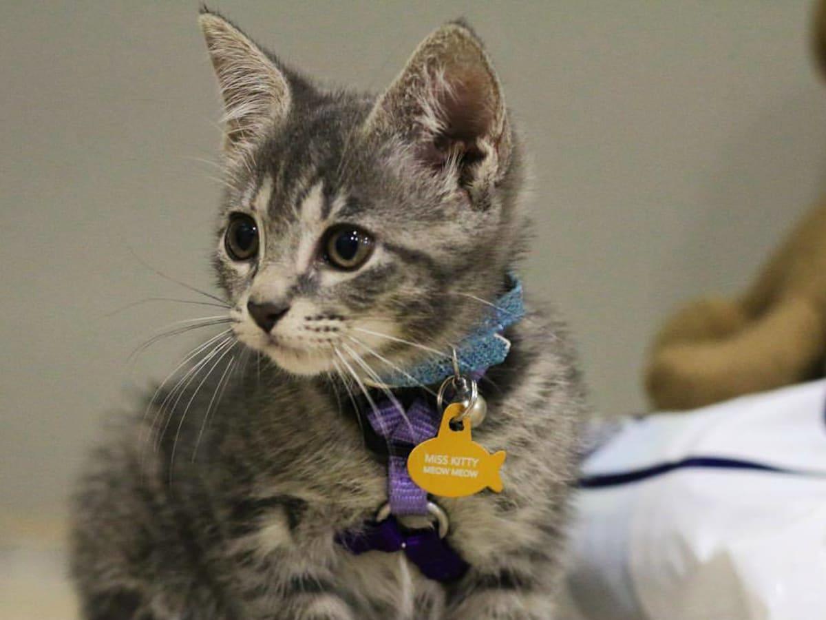POP Cats 2018 kitten little cat