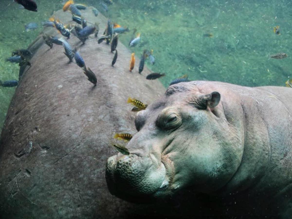 Timothy the Hippo San Antonio Zoo