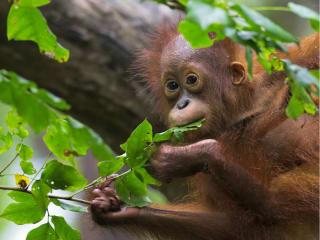 The Leakey Foundation presents <i>Nutrition in Wild Orangutans: Insights Into Human Health</i>