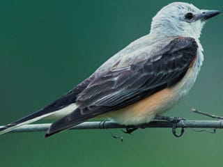 scissor-tailed flycatcher bird