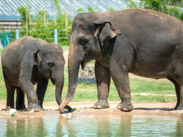 Houston Zoo elephants Tupelo Tess