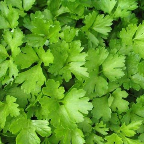 Cilantro herb plant