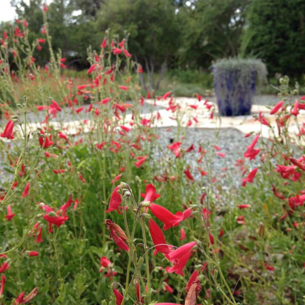 Penstemon at LBJ Wildflower Center