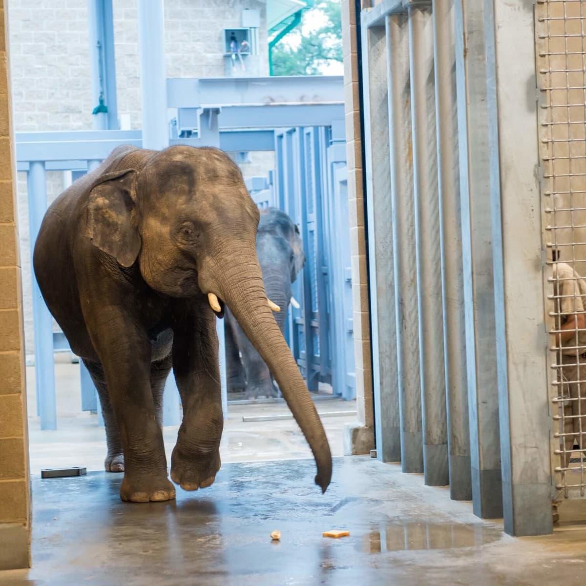 Houston Zoo's Male Elephants Move Into New Barn