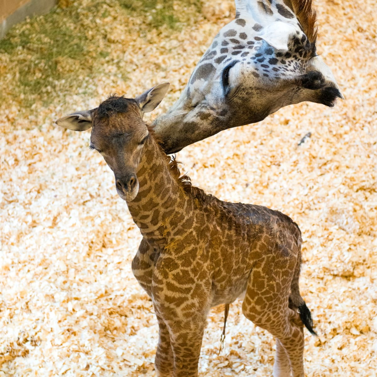 Houston, Houston Zoo, September 2015, baby giraffe and mom