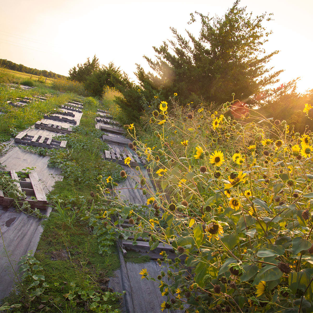 Photo of sunflowers bordering a crop of melons