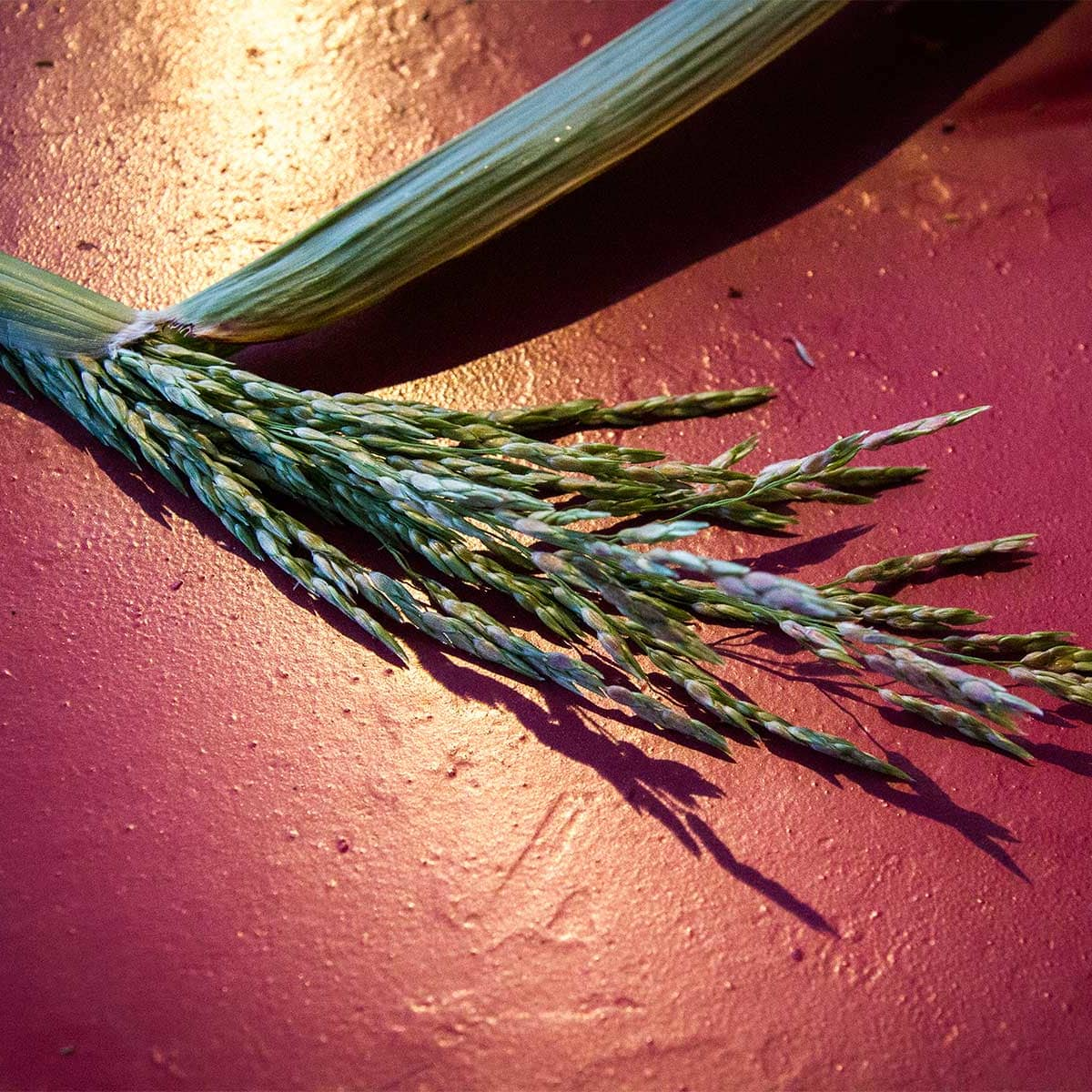photo of grass seed head