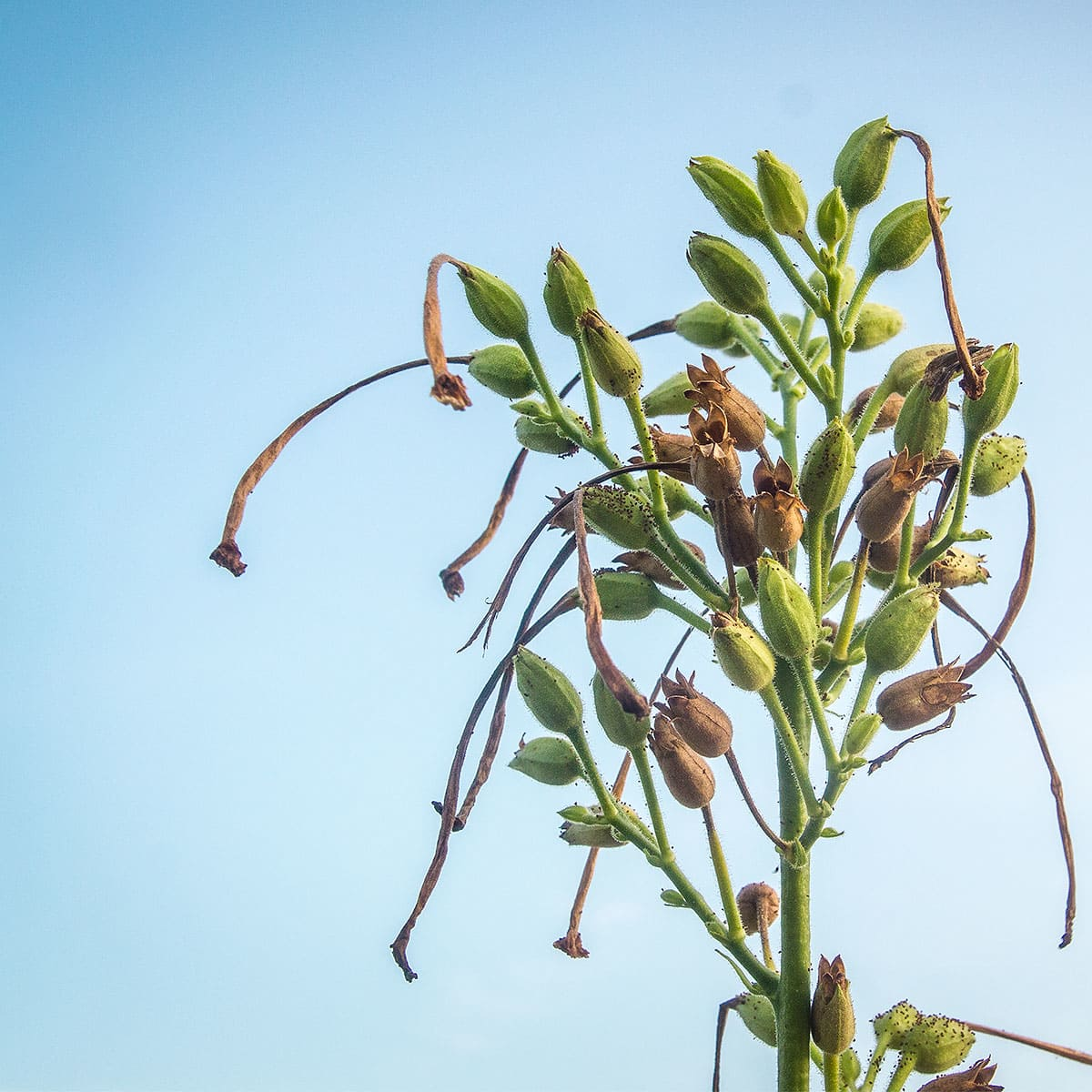 Photo of nicotiana seed pods