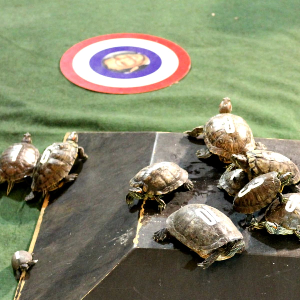 turtle racing little woodrow's