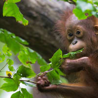 The Leakey Foundation presents <i>Nutrition in Wild Orangutans: Insights Into Human Health</i>