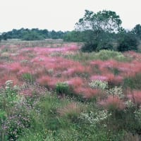 News_Katy Prairie Conservancy_Williams_Prairie