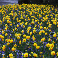 Texas Daffodils Show