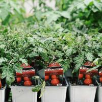 Tomato plants at Dallas Farmers Market