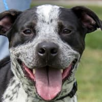 Pet of the Week-_Hoffman_Dandy