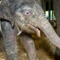 Houston Zoo baby elephant Tilly Tess