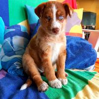 Pet of the Week - Truffle puppy Australian Shepherd