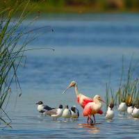 Galveston Bay wildlife birds