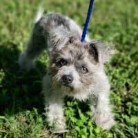 Pet of the Week - Sugar poodle