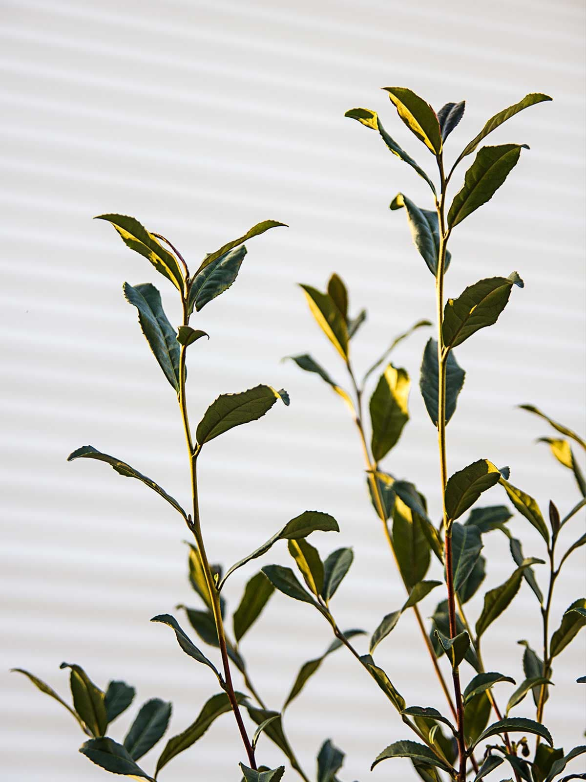 Photo of camellia sinensis leaves