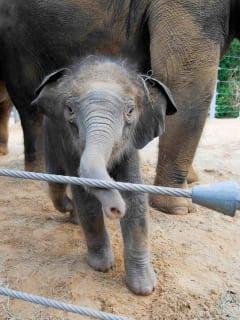 News_Baylor_baby elephant