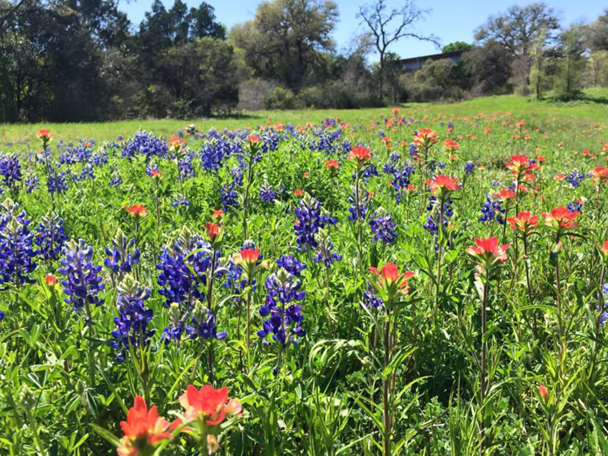 Lady Bird Johnson Wildflower Center bluebonnet Indian paintbrush