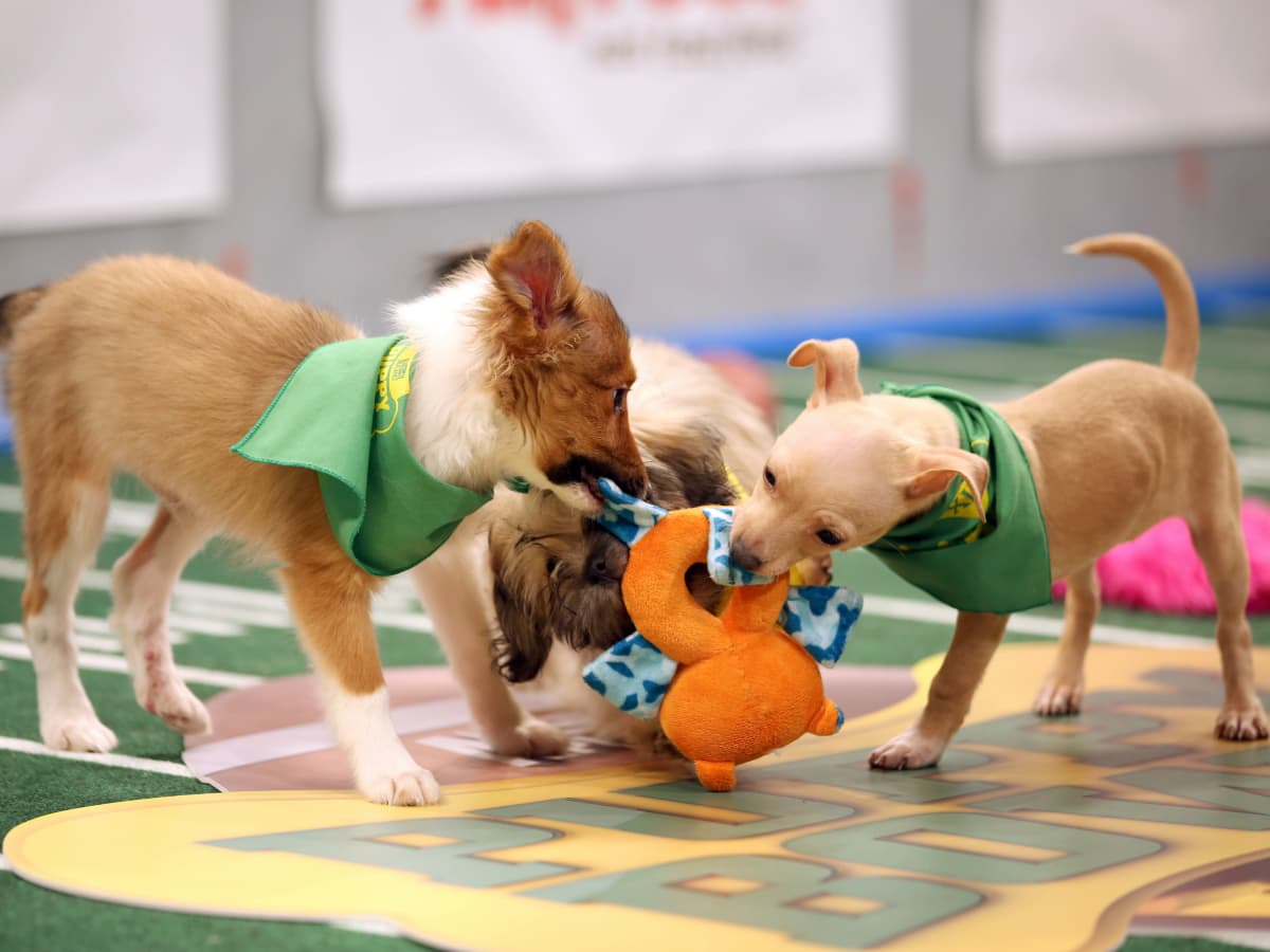 Puppy Bowl 2016 dogs football