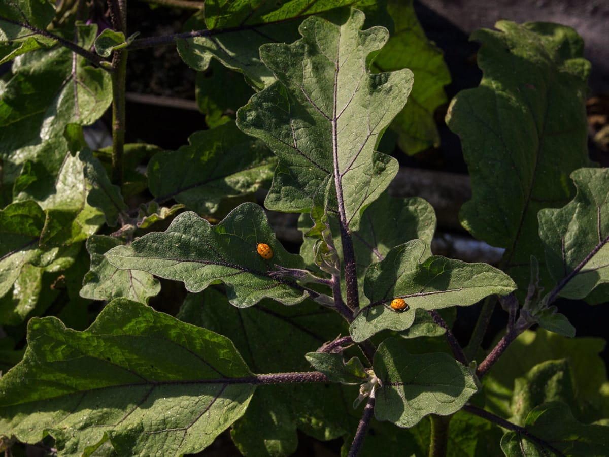 Photo of lady bug pupa on eggplant leaf
