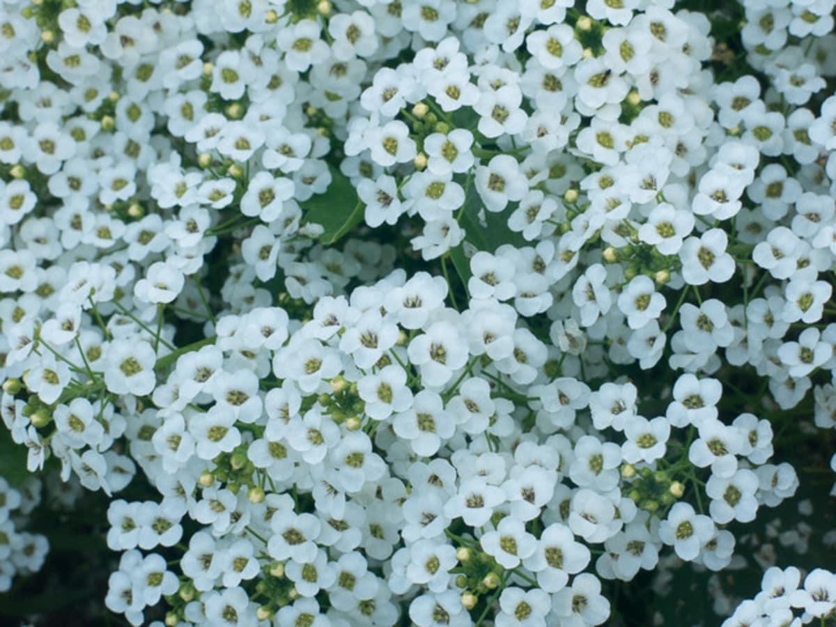 Alyssum flower plant