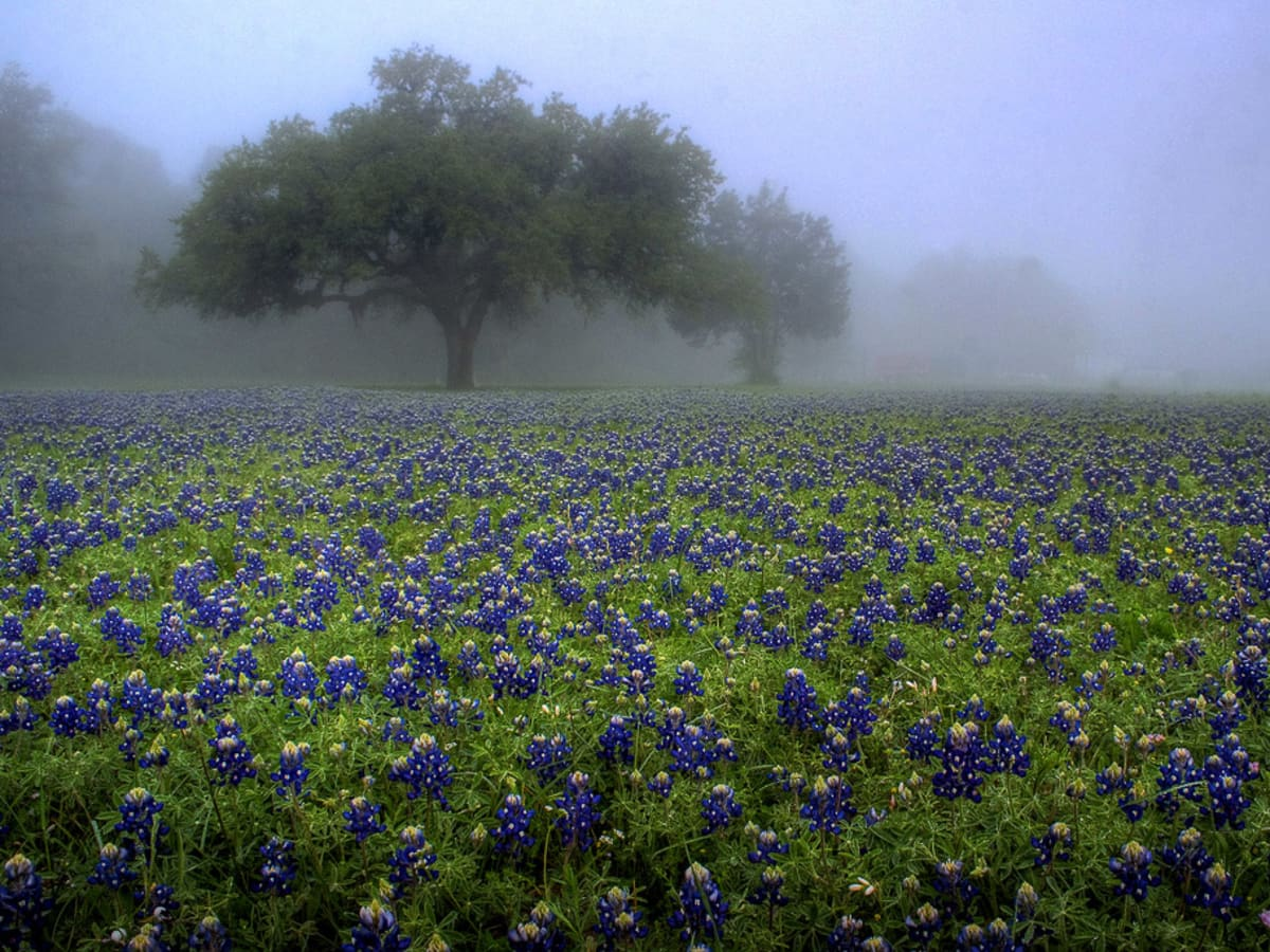 News_wildflowers_bluebonnets_fog
