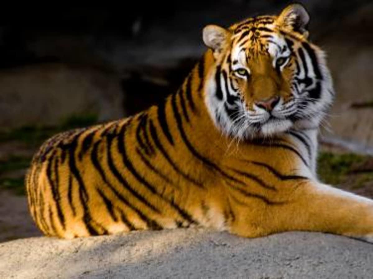 Austin_photo: places_outdoors_austin zoo_tiger