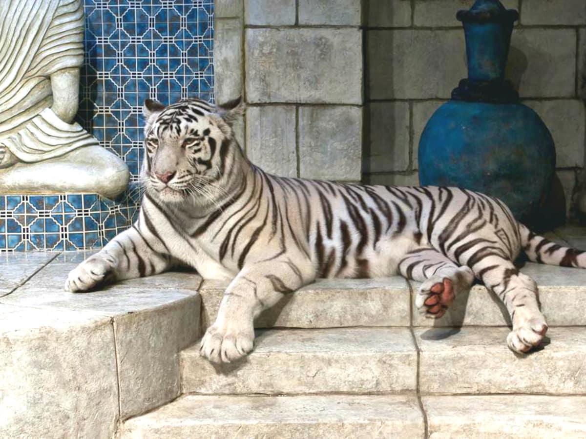 White tiger Houston Downtown Aquarium