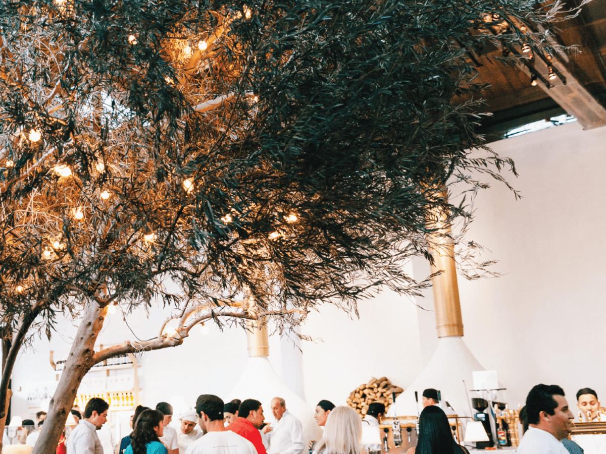 Midici olive tree